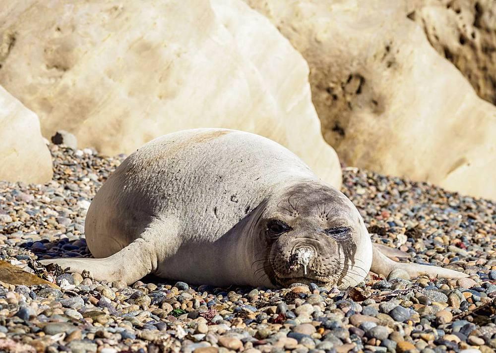 Southern Elephant Seal (Mirounga leonina), female, Punta Ninfas, Atlantic Coast, Chubut Province, Patagonia, Argentina, South America