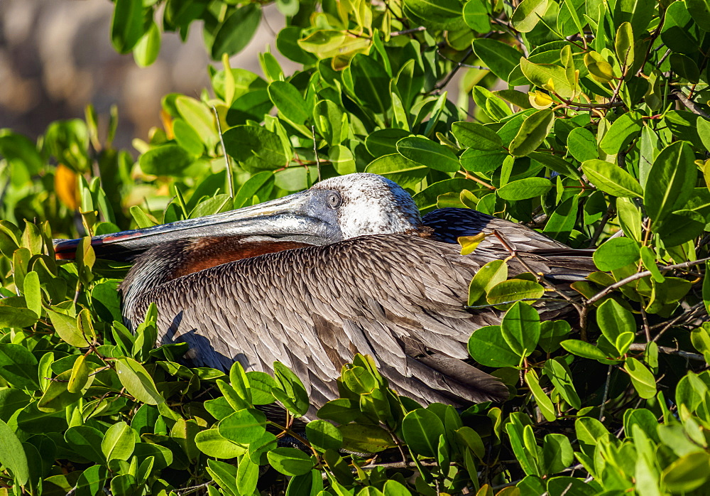 Brown pelican (Pelecanus occidentalis), Puerto Ayora, Santa Cruz (Indefatigable) Island, Galapagos, UNESCO World Heritage Site, Ecuador, South America