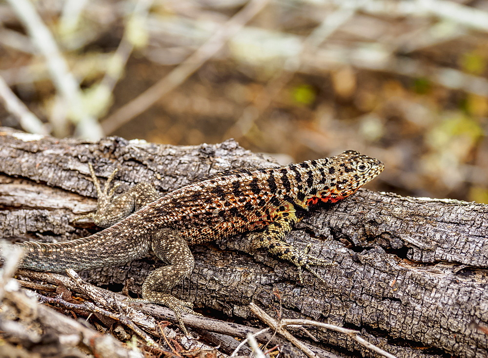 Lava Lizard (Microlophus albemarlensis), Santa Cruz (Indefatigable) Island, Galapagos, UNESCO World Heritage Site, Ecuador, South America