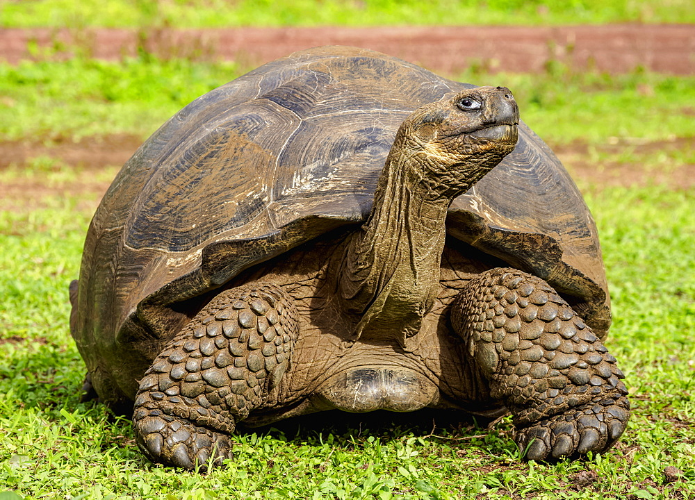 Giant Tortoise, El Chato, Highlands of Santa Cruz (Indefatigable) Island, Galapagos, UNESCO World Heritage Site, Ecuador, South America