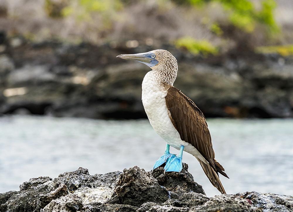 Blue-footed booby (Sula nebouxii) on the rocky coast by the Bachas Beach, Santa Cruz or Indefatigable Island, Galapagos, Ecuador