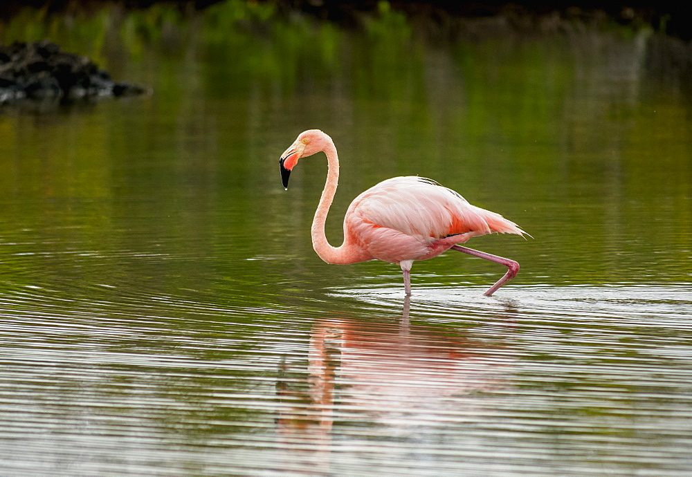 Greater flamingo (Phoenicopterus roseus), Lagoon by the Bachas Beach, Santa Cruz (Indefatigable) Island, Galapagos, UNESCO World Heritage Site, Ecuador, South America