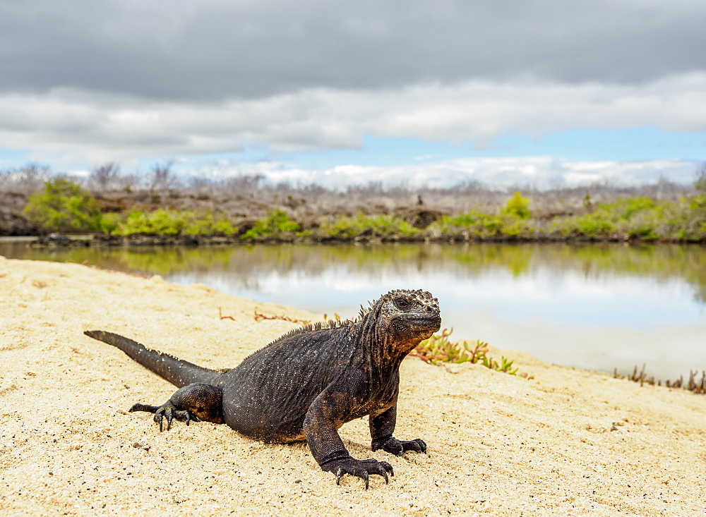 Marine iguana (Amblyrhynchus cristatus) next to lagoon by Bachas Beach, Santa Cruz (Indefatigable) Island, Galapagos, UNESCO World Heritage Site, Ecuador, South America