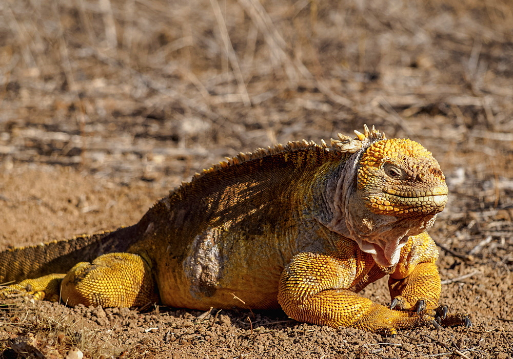 Land iguana (Conolophus subcristatu), Dragon Hill, Santa Cruz (Indefatigable) Island, Galapagos, UNESCO World Heritage Site, Ecuador, South America