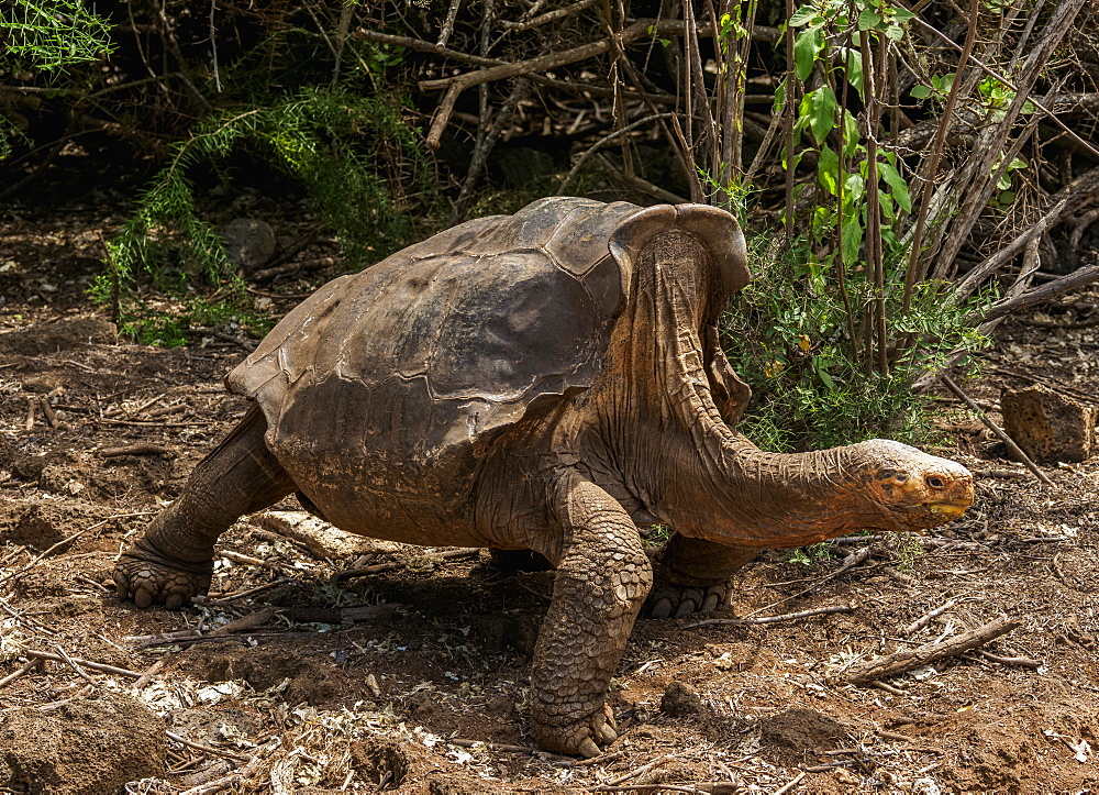 Giant Tortoise at Charles Darwin Research Station, Puerto Ayora, Santa Cruz (Indefatigable) Island, Galapagos, UNESCO World Heritage Site, Ecuador, South America