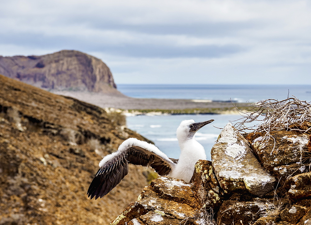 Blue-footed booby juvenile (Sula nebouxii), Punta Pitt, San Cristobal (Chatham) Island, Galapagos, UNESCO World Heritage Site, Ecuador, South America