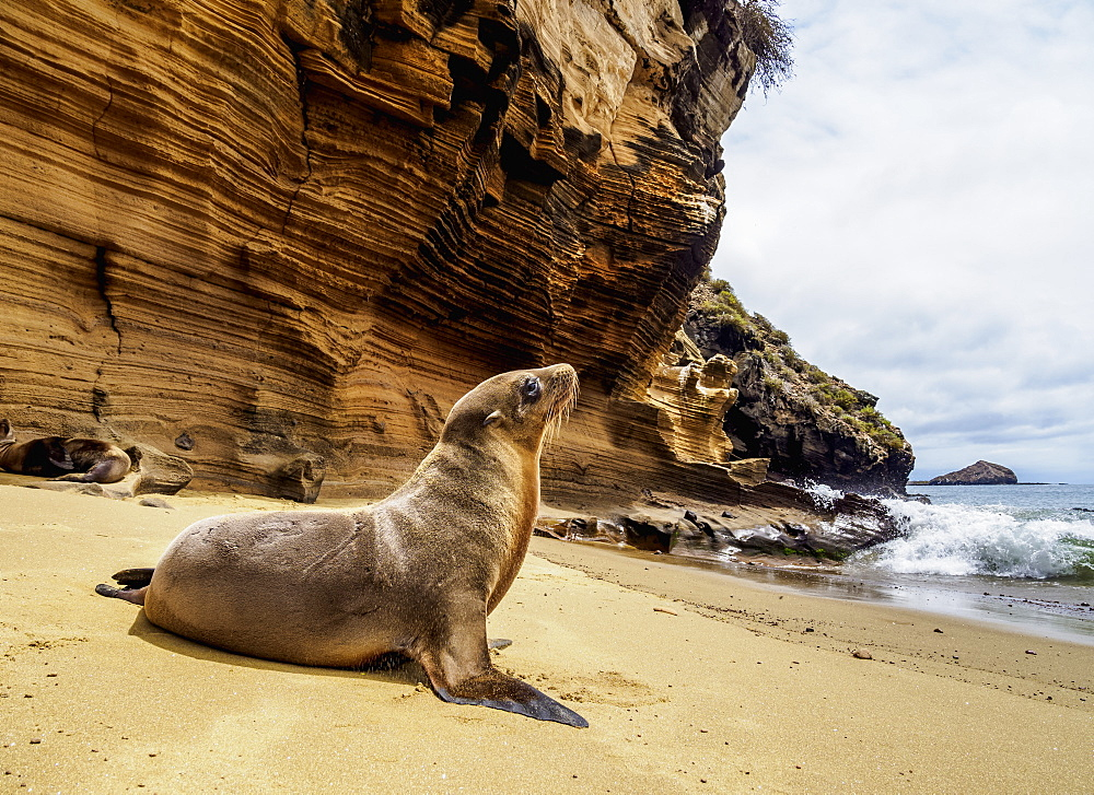 Sea Lion (Zalophus wollebaeki) on the beach at Punta Pitt, San Cristobal (Chatham) Island, Galapagos, UNESCO World Heritage Site, Ecuador, South America