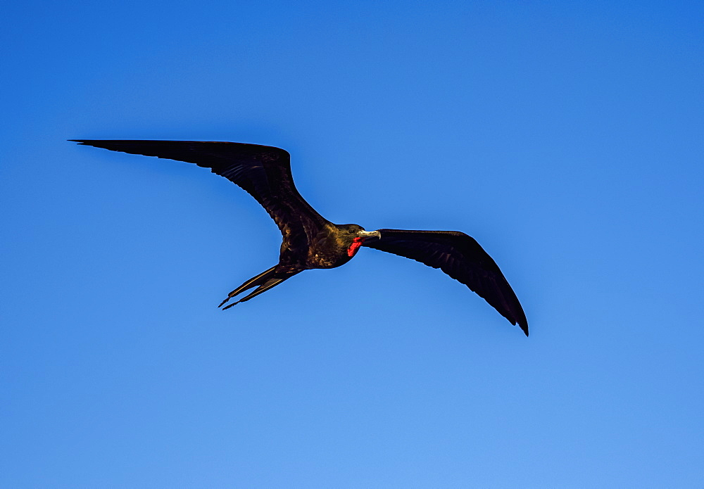 Magnificent frigatebird (Fregata magnificens) near Bartolome Island, Galapagos, UNESCO World Heritage Site, Ecuador, South America