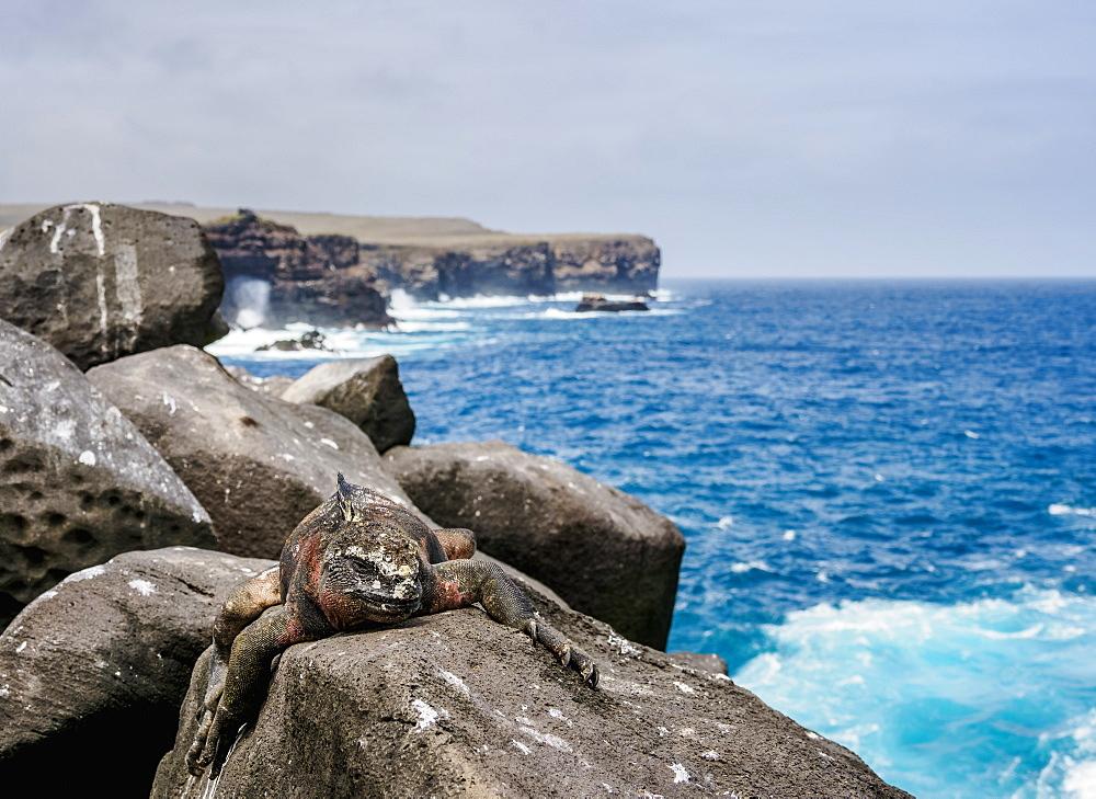 Marine iguana (Amblyrhynchus cristatus), Punta Suarez, Espanola (Hood) Island, Galapagos, UNESCO World Heritage Site, Ecuador, South America