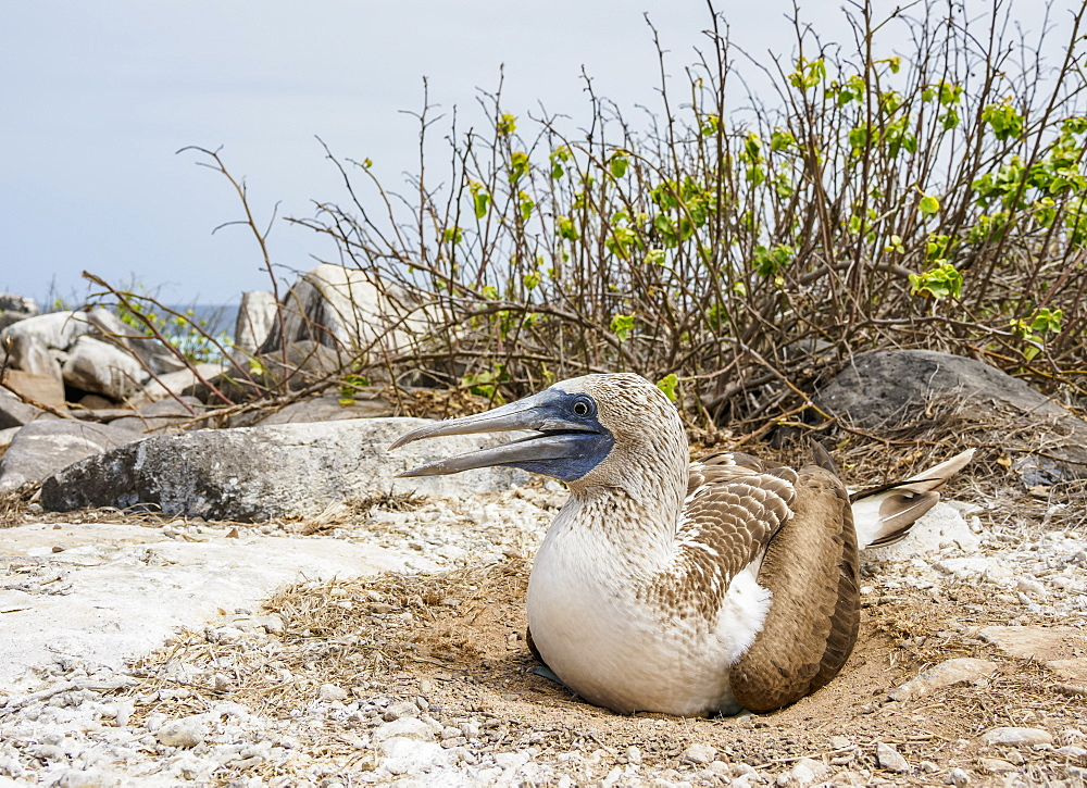 Blue-footed booby (Sula nebouxii) on a nest, Punta Suarez, Espanola or Hood Island, Galapagos, Ecuador