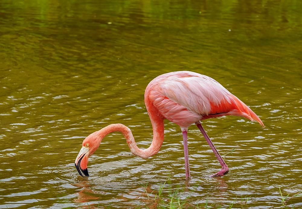 Greater flamingo (Phoenicopterus roseus), Isabela (Albemarle) Island, Galapagos, UNESCO World Heritage Site, Ecuador, South America