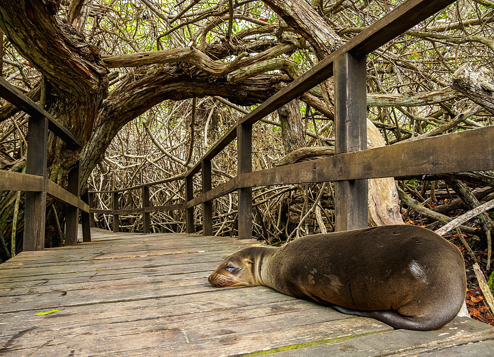 Sea Lion (Zalophus wollebaeki), Mangrove Forest on a trail to Concha de Perla, Isabela (Albemarle) Island, Galapagos, UNESCO World Heritage Site, Ecuador, South America