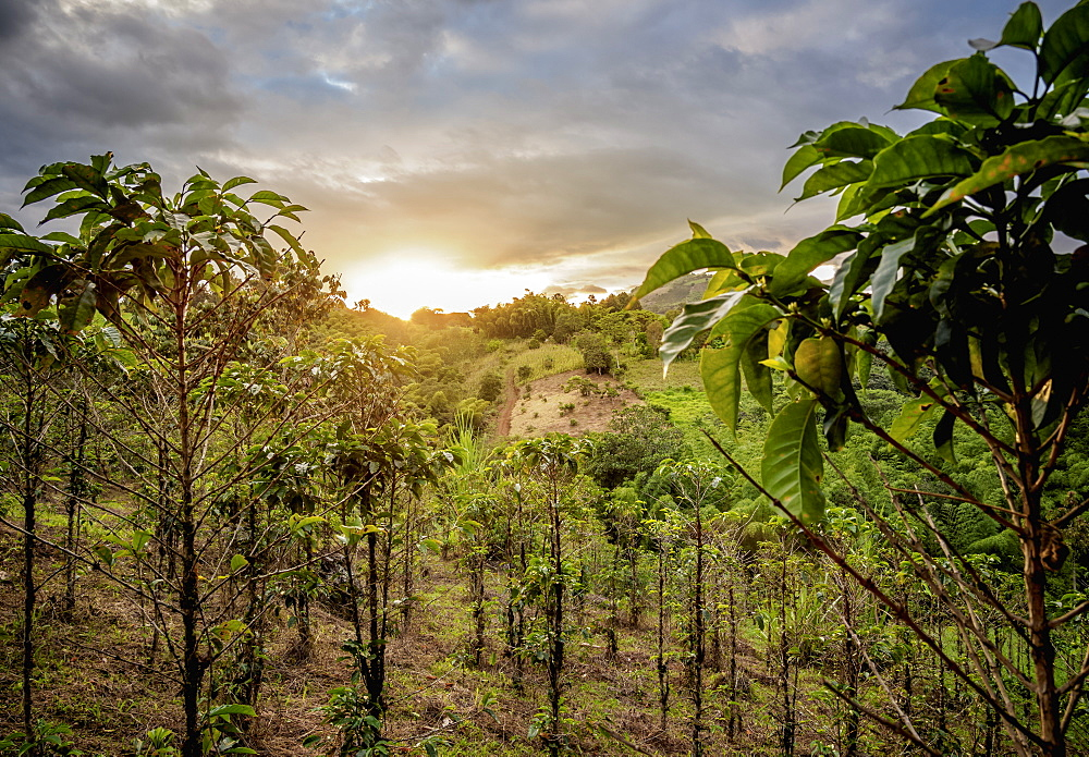 Coffee plantation at sunset, San Agustin, Huila Department, Colombia, South America
