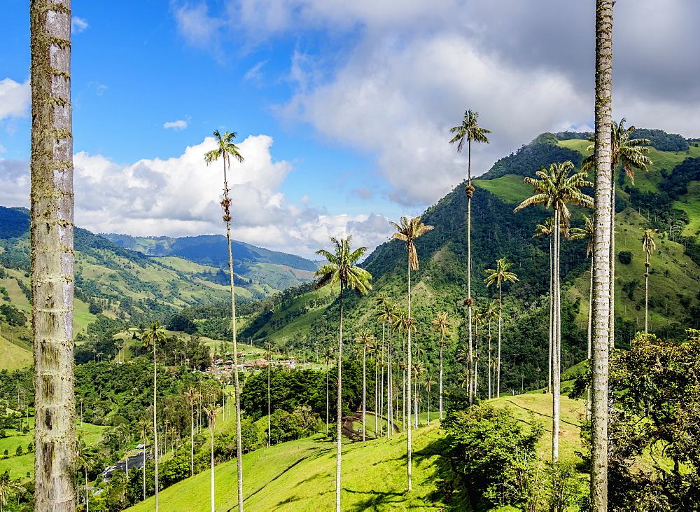 Wax Palms (Ceroxylon quindiuense), Cocora Valley, Salento, Quindio Department, Colombia - 1245-1463