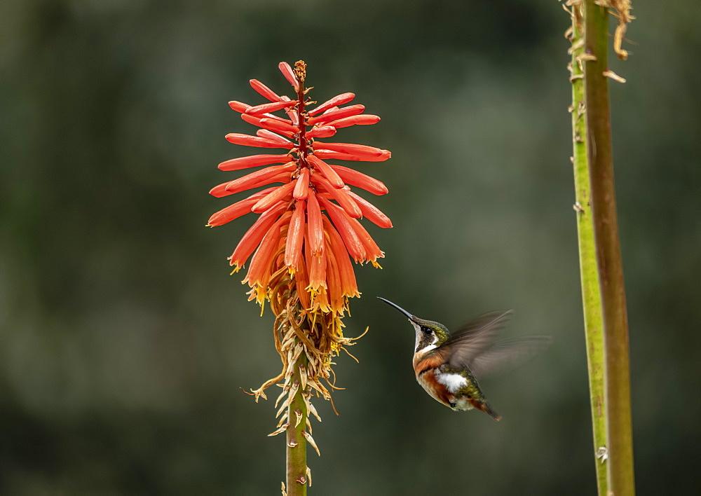 Colibri Hummingbird, La Montana, Salento, Quindio Department, Colombia - 1245-1464