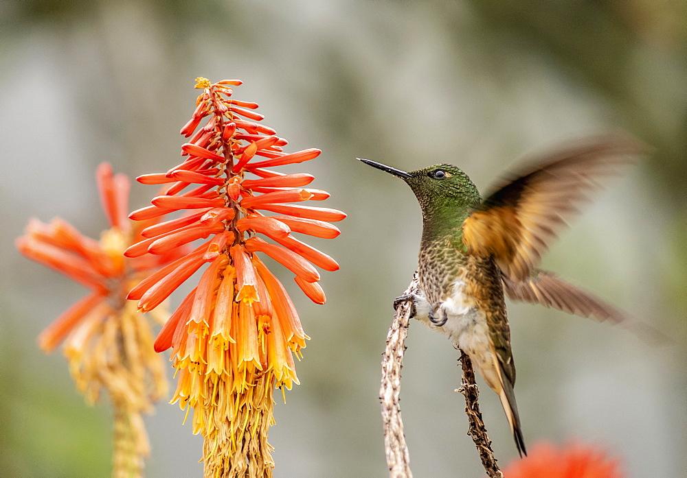 Colibri Hummingbird, La Montana, Salento, Quindio Department, Colombia - 1245-1466