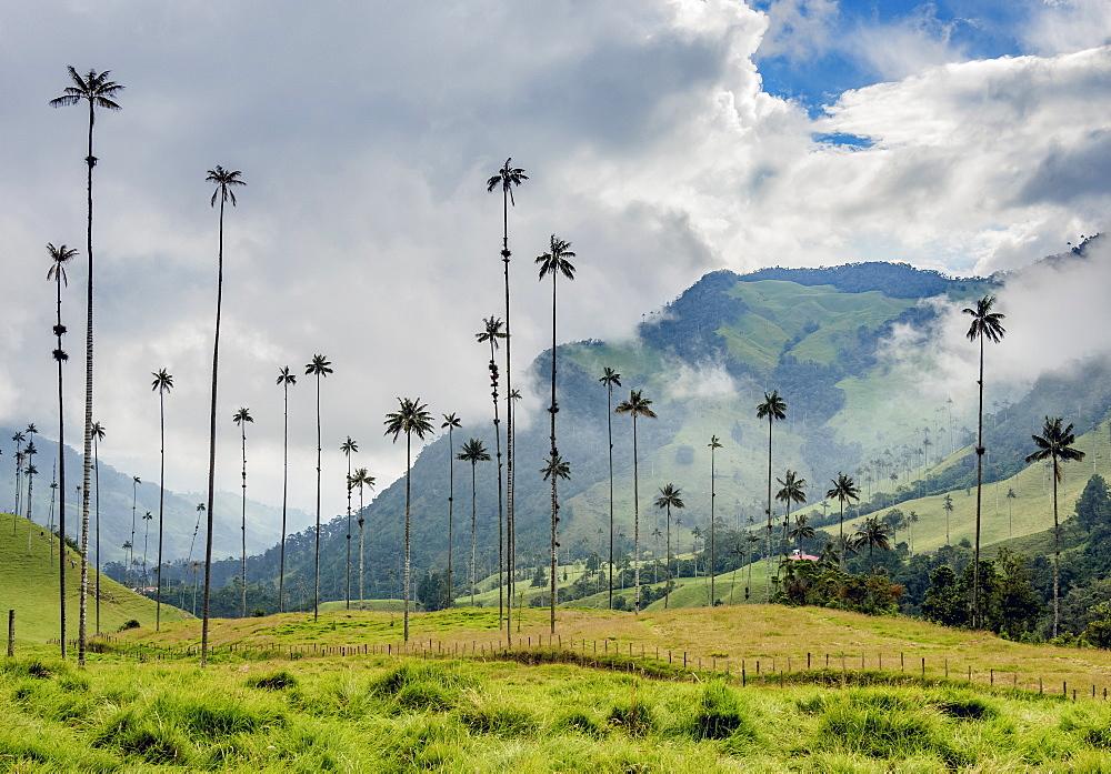 Wax Palms (Ceroxylon quindiuense), Cocora Valley, Salento, Quindio Department, Colombia - 1245-1468