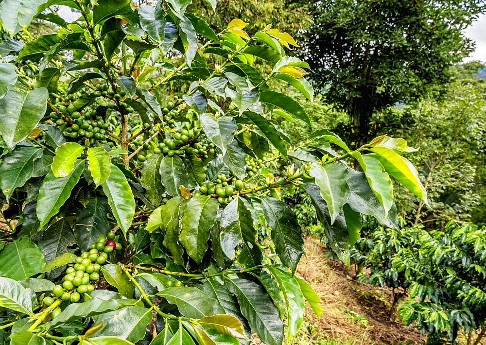 Coffee Plantation, Salento, Quindio Department, Colombia, South America