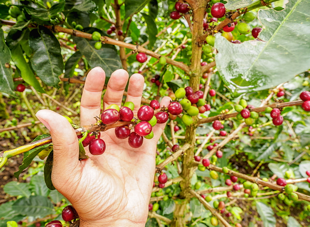 Coffee cherries, Coffee Triangle, Salento, Quindio Department, Colombia, South America