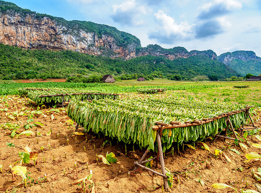 Tobacco leaves drying in the field, Vinales Valley, UNESCO World Heritage Site, Pinar del Rio Province, Cuba, West Indies, Caribbean, Central America - 1245-1931