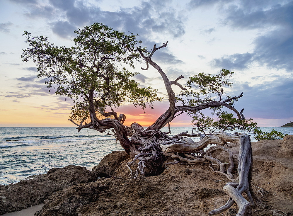 Lone Tree by the Jack Sprat Beach at sunset, Treasure Beach, Saint Elizabeth Parish, Jamaica, West Indies, Caribbean, Central America