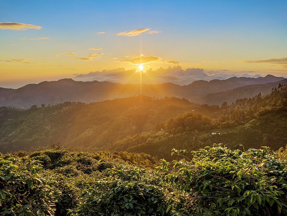 Coffee Plantation at sunset, Blue Mountains, Saint Thomas Parish, Jamaica, West Indies, Caribbean, Central America