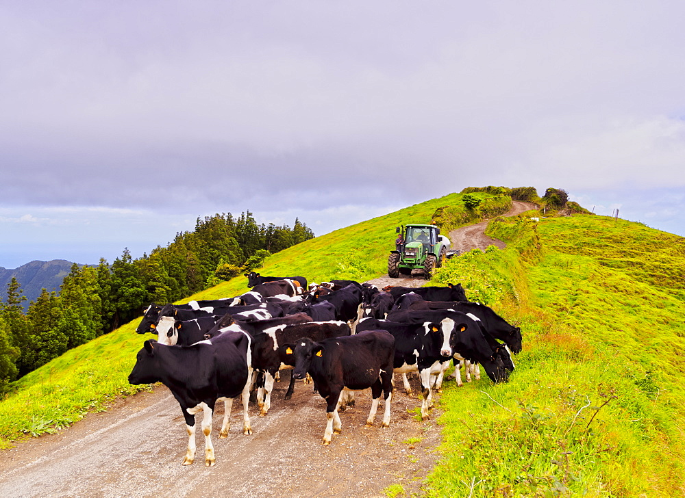 Cows near Sete Cidades, Sao Miguel Island, Azores, Portugal, Atlantic, Europe