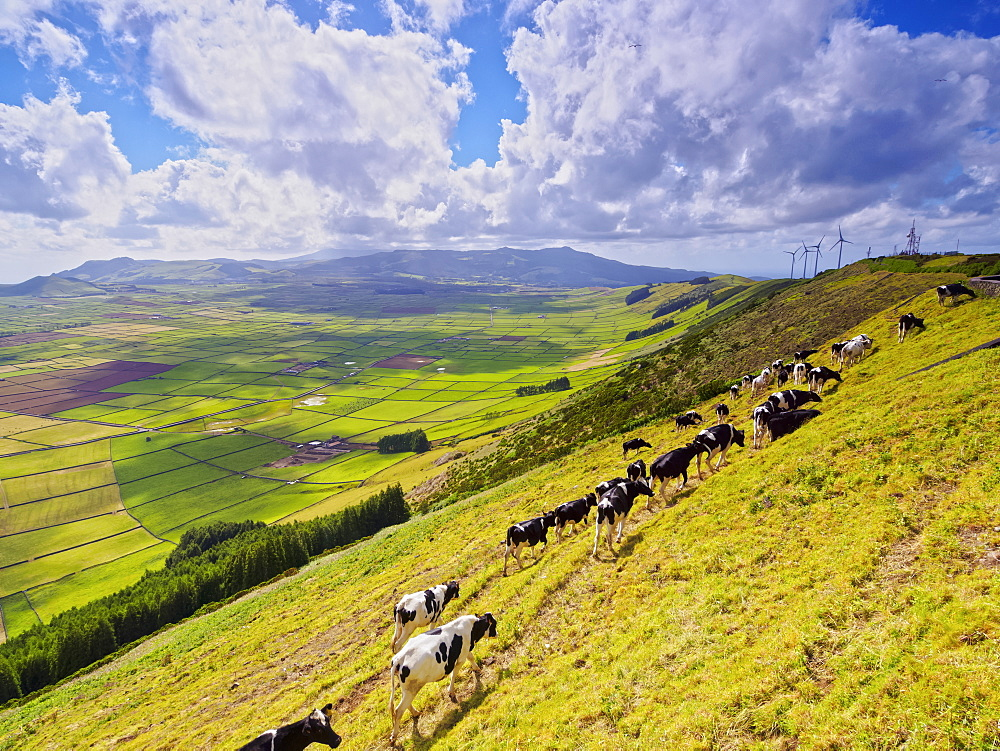 Cows on the slope of Serra do Cume, Terceira Island, Azores, Portugal, Atlantic, Europe