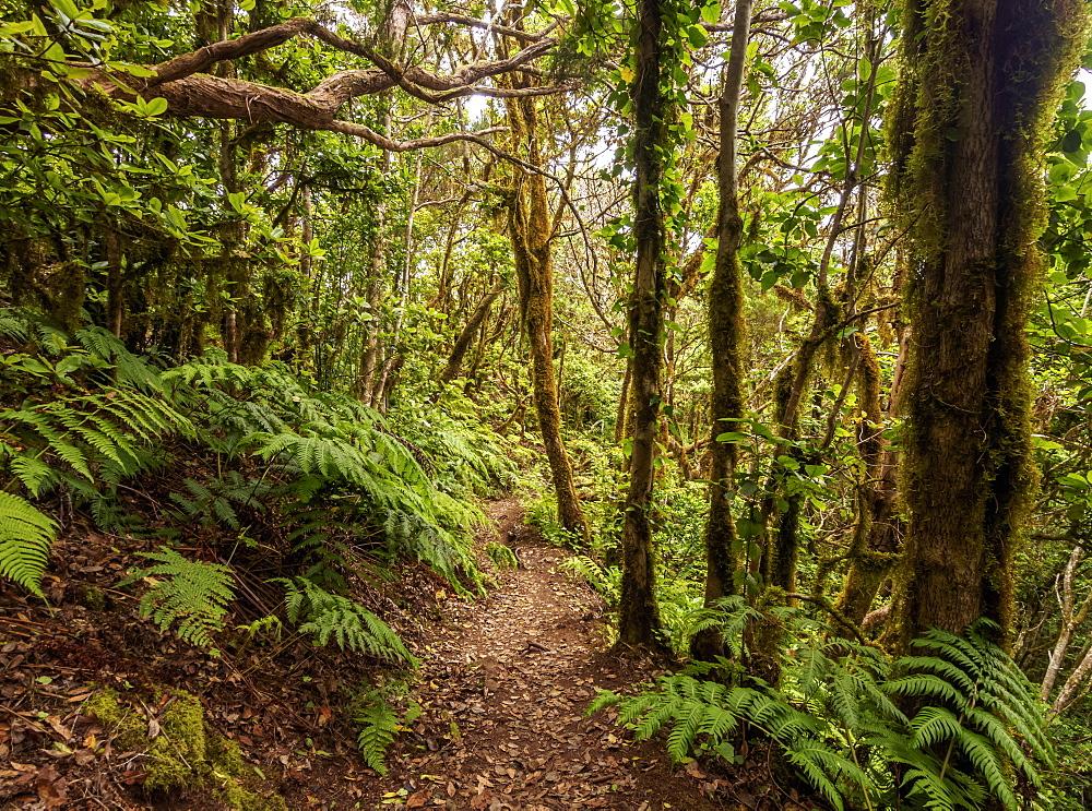 Bosque Encantado, laurel forest, Anaga Rural Park, Tenerife Island, Canary Islands, Spain
