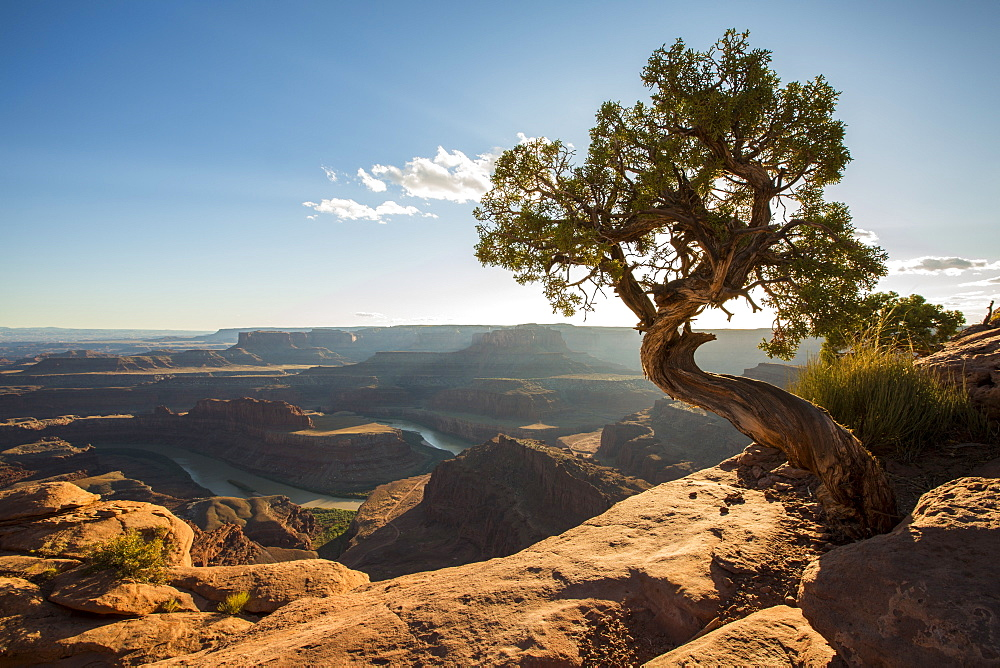Tree and Colorado River in the background, Dead Horse Point State Park, Moab, Utah, United States of America, North America