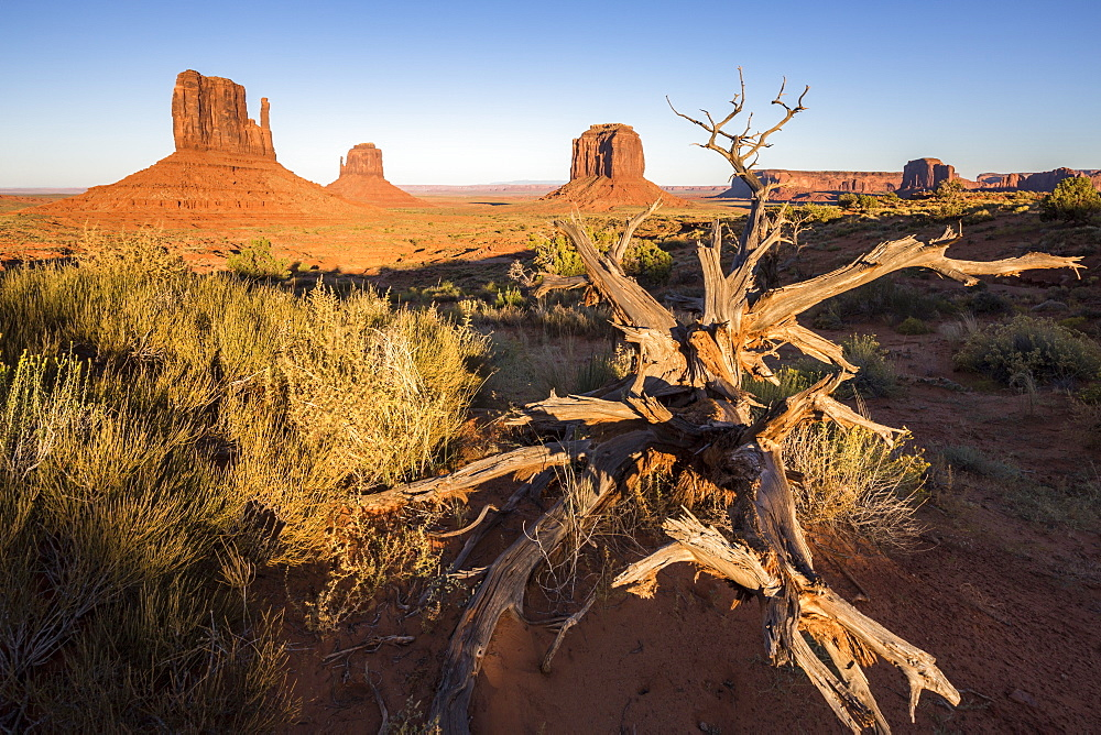 Dry tree and Monument Valley in the background, Navajo Tribal Park, Arizona, United States of America, North America