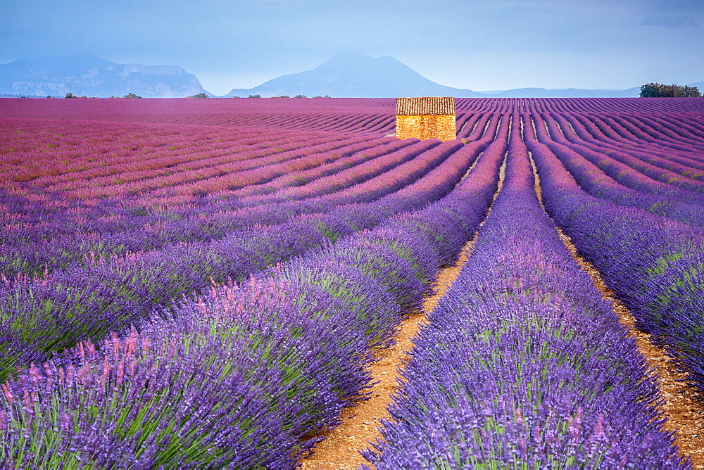 House in a lavender field at sunset, Plateau de Valensole, Alpes-de-Haute-Provence, Provence-Alpes-Cote d'Azur, France, Europe