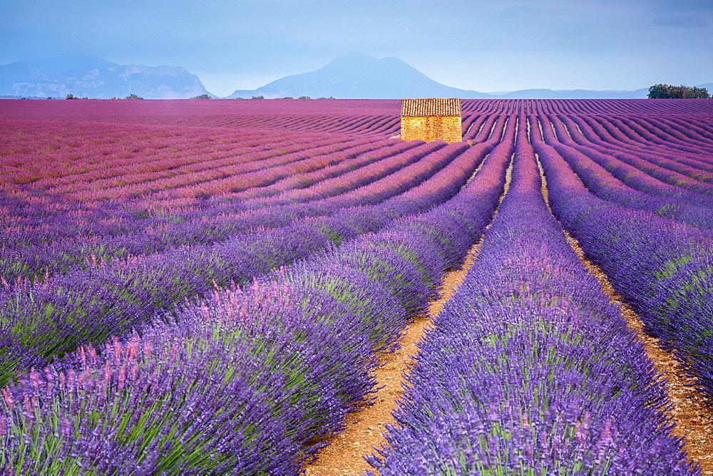 house in a lavender field at sunset. Plateau de Valensole, Alpes-de-Haute-Provence, Provence-Alpes-Cote d'Azur, France.