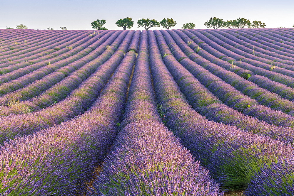 Photo of Lavender rows. Plateau de Valensole, Alpes-de-Haute-Provence, Provence-Alpes-Cote d'Azur, France