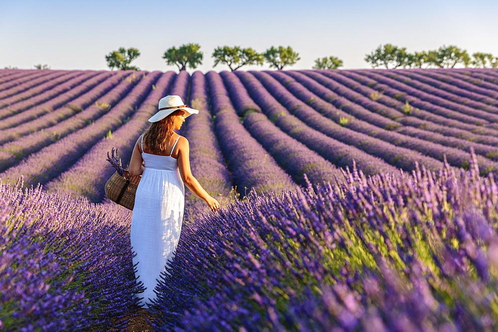 Woman with hat in lavender fields. Plateau de Valensole, Alpes-de-Haute-Provence, Provence-Alpes-Cote d'Azur, France.