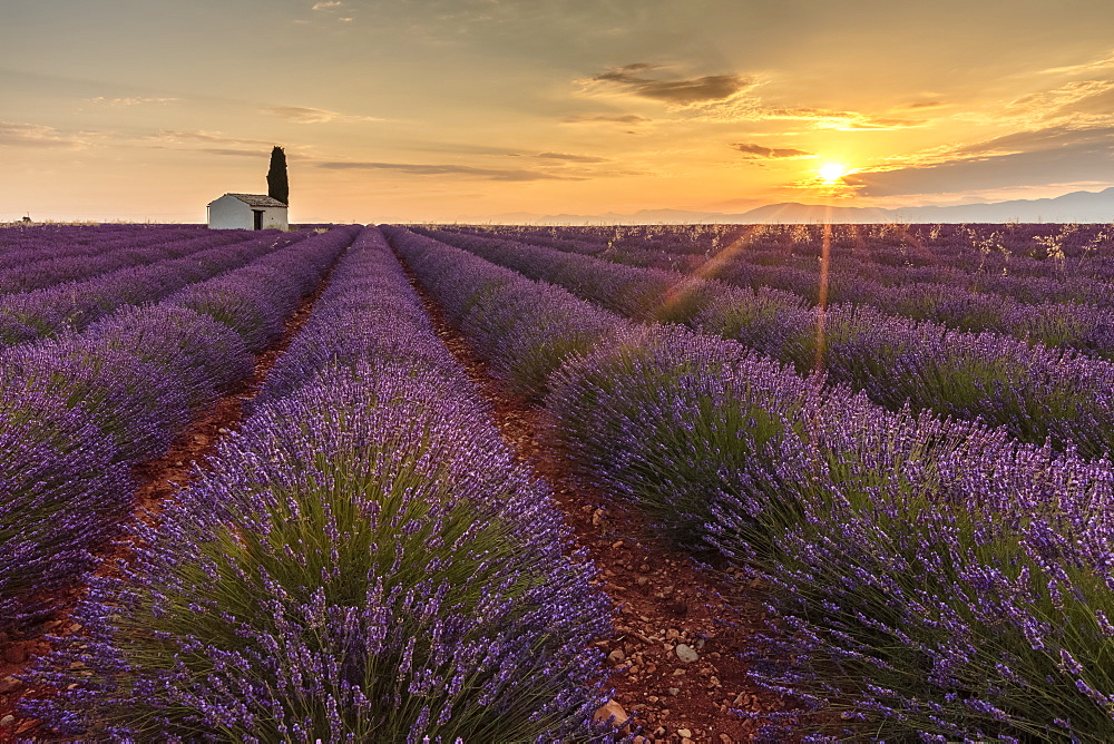 Rural house with tree in a lavender crop at dawn. Plateau de Valensole, Alpes-de-Haute-Provence, Provence-Alpes-Cote d'Azur, Fra