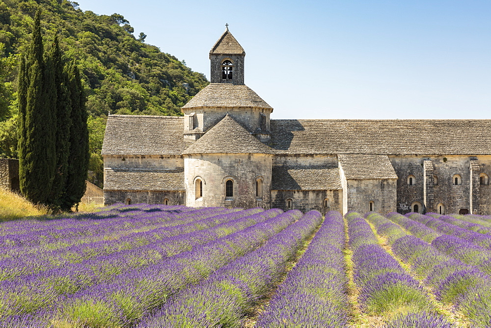 Lavender crop in front of Senanque Abbey, Gordes, Vaucluse, Provence-Alpes-Cote d'Azur, France, Europe