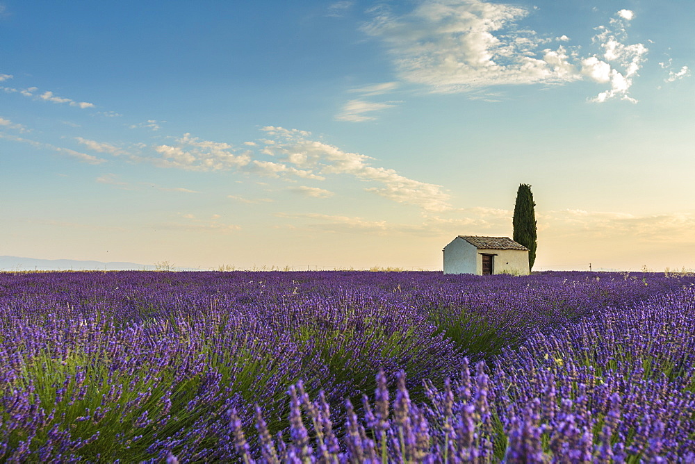 Rural house with tree in a lavender crop. Plateau de Valensole, Alpes-de-Haute-Provence, Provence-Alpes-Cote d'Azur, France.