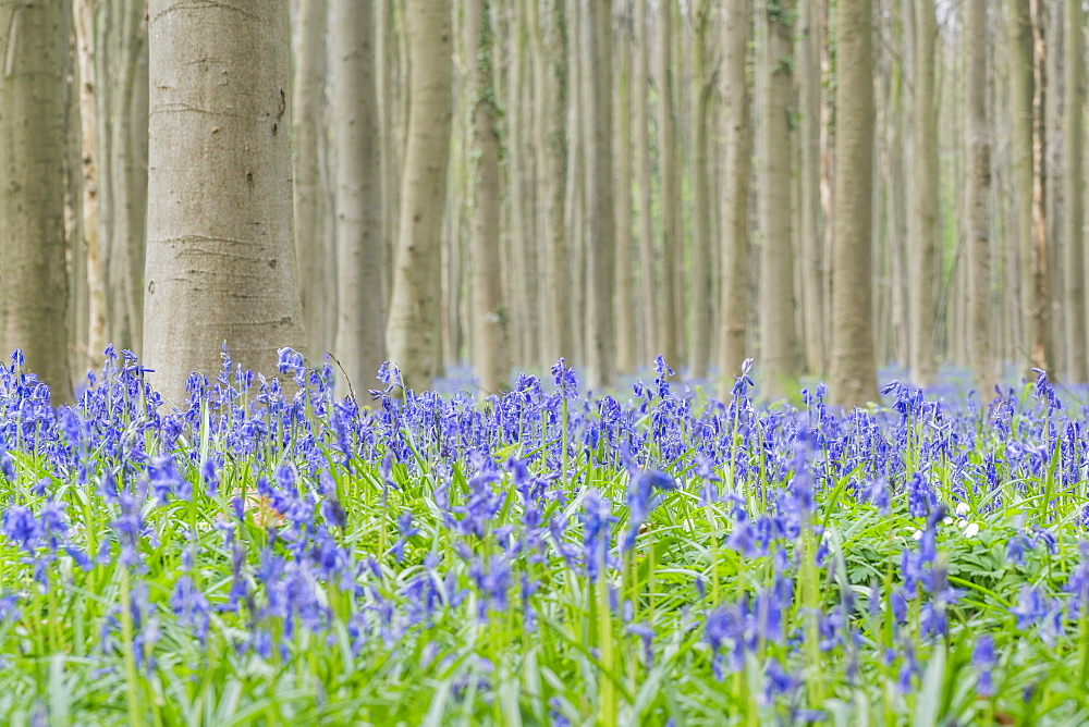 Beechwood with bluebell flowers on the ground, Halle, Flemish Brabant province, Flemish region, Belgium, Europe