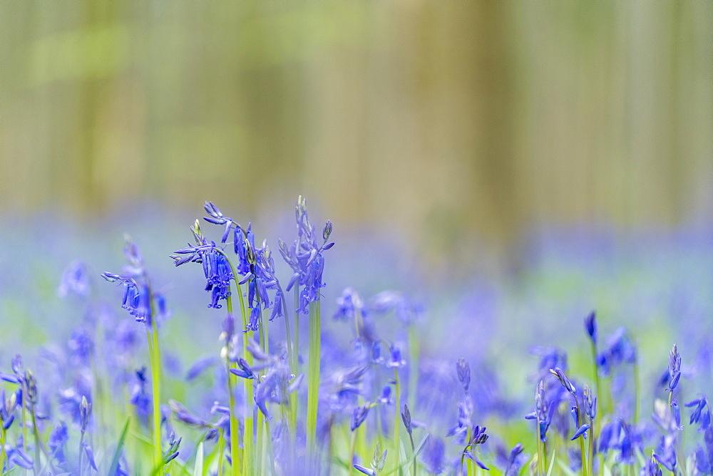 Close-up of bluebell flowers, Halle, Flemish Brabant province, Flemish region, Belgium, Europe