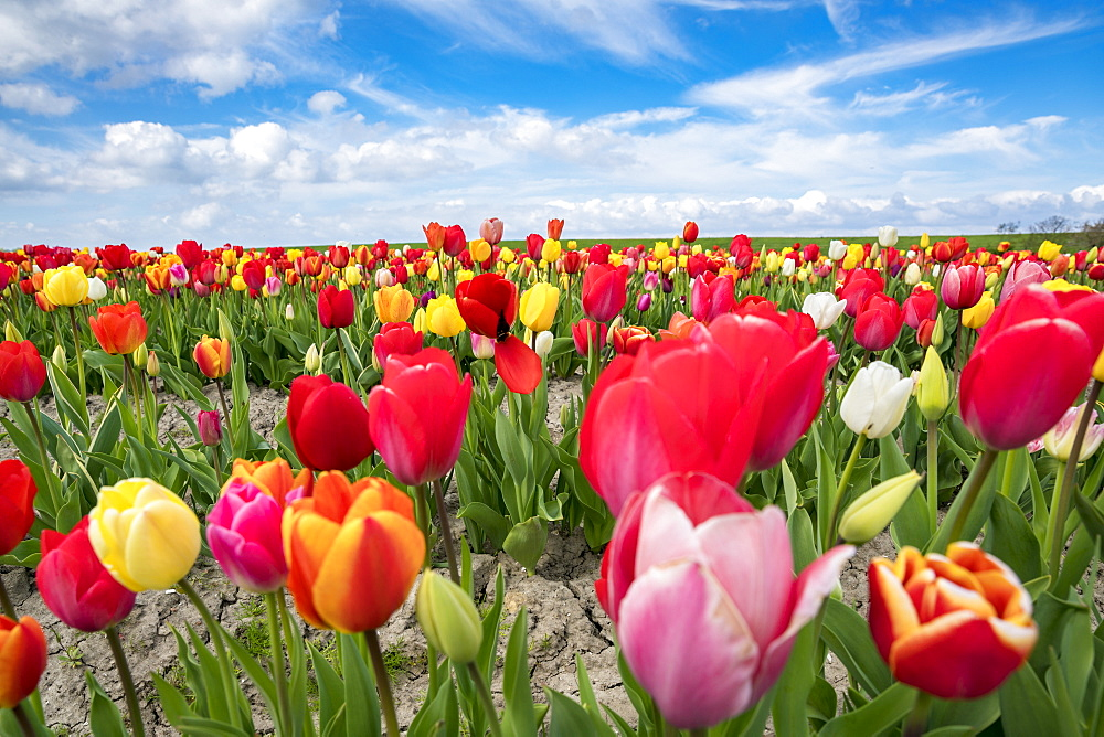 Multicoloured tulip field, Yersekendam, Zeeland province, Netherlands, Europe