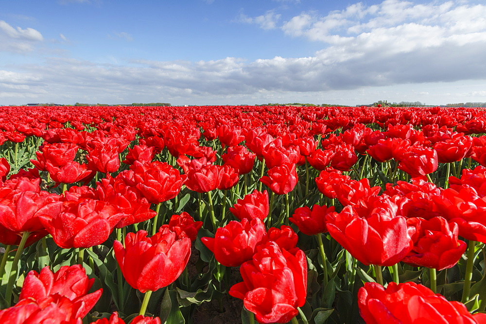 Red tulips and clouds in the sky. Yersekendam, Zeeland province, Netherlands.