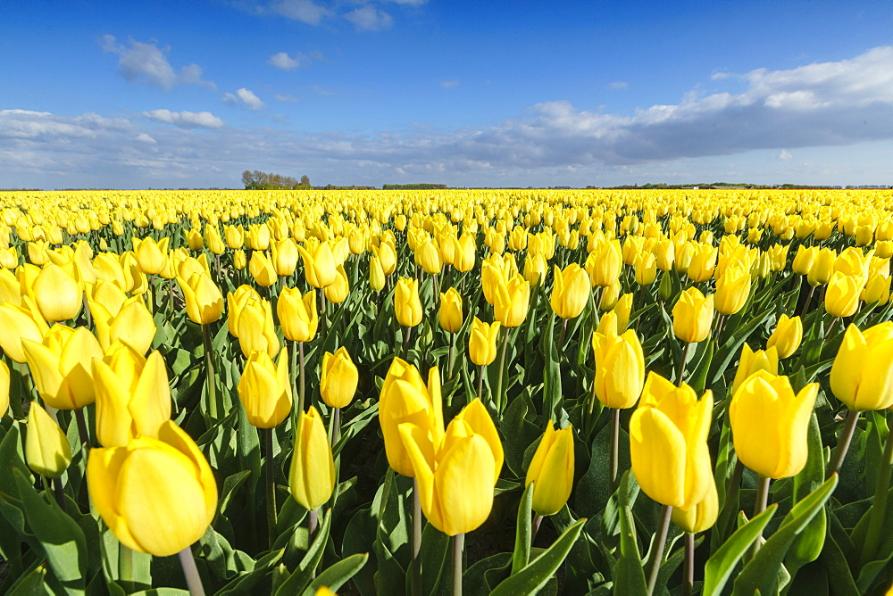 Yellow tulips in a field. Yersekendam, Zeeland province, Netherlands.
