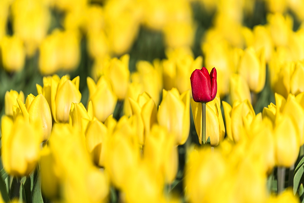 Single red tulip in a field of yellow tulips, Yersekendam, Zeeland province, Netherlands, Europe