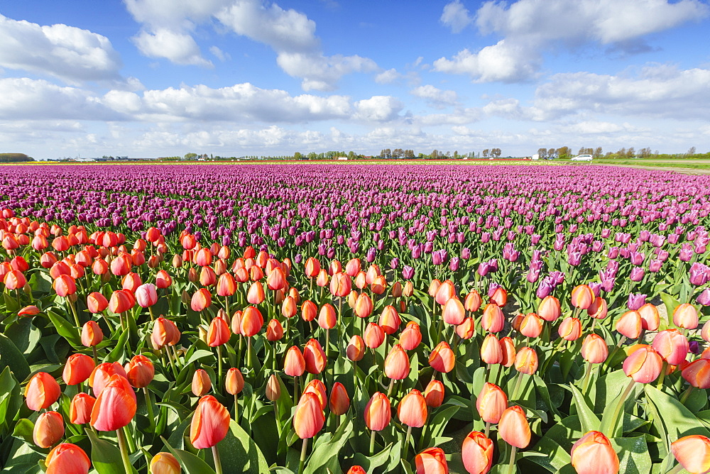 Orange and pink tulips in a field, Yersekendam, Zeeland province, Netherlands, Europe