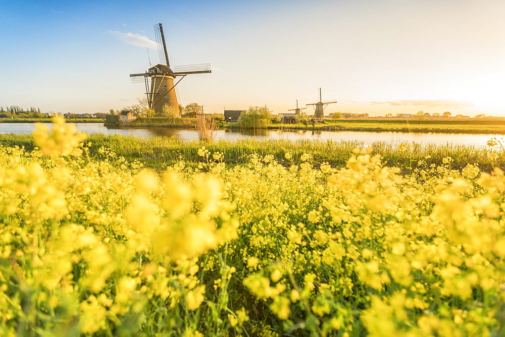 Golden light over the windmills with yellow flowers in the foreground. Kinderdijk, Molenwaard municipality, South Holland province, Netherlands.