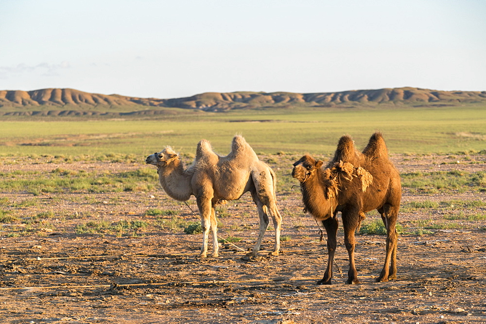 Two camels in Gobi desert. Ulziit, Middle Gobi province, Mongolia. - 1251-307