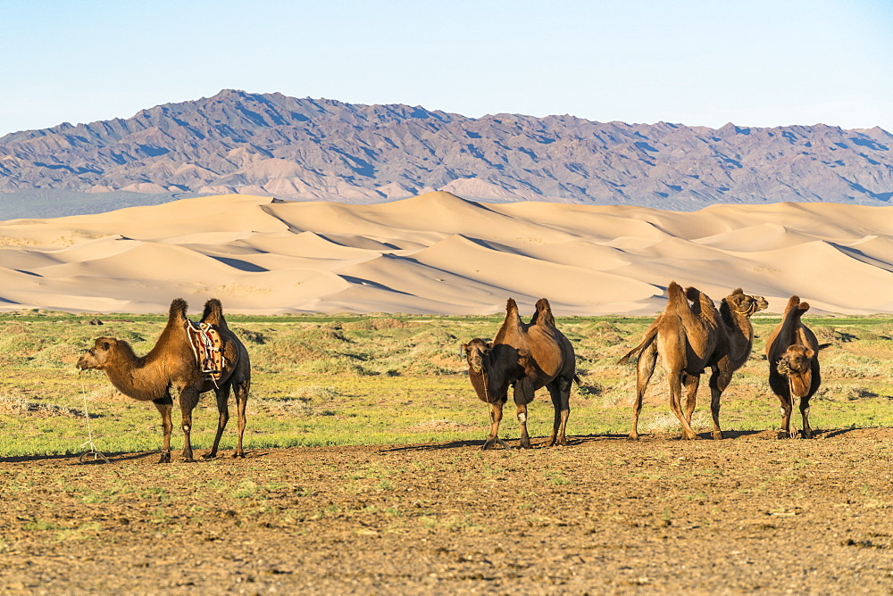 Camels and sand dunes of Gobi desert in the background, Sevrei district, South Gobi province, Mongolia, Central Asia, Asia