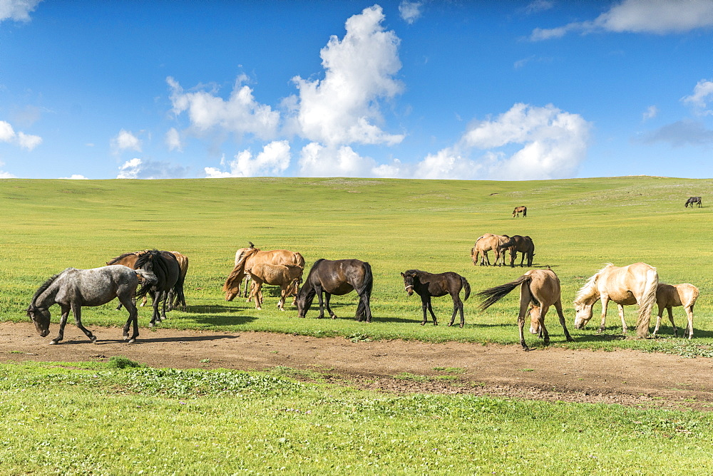 Horses grazing on the Mongolian steppe, South Hangay, Mongolia, Central Asia, Asia