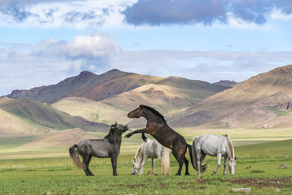 Wild horses playing and grazing and Khangai mountains in the background. Hovsgol province, Mongolia.